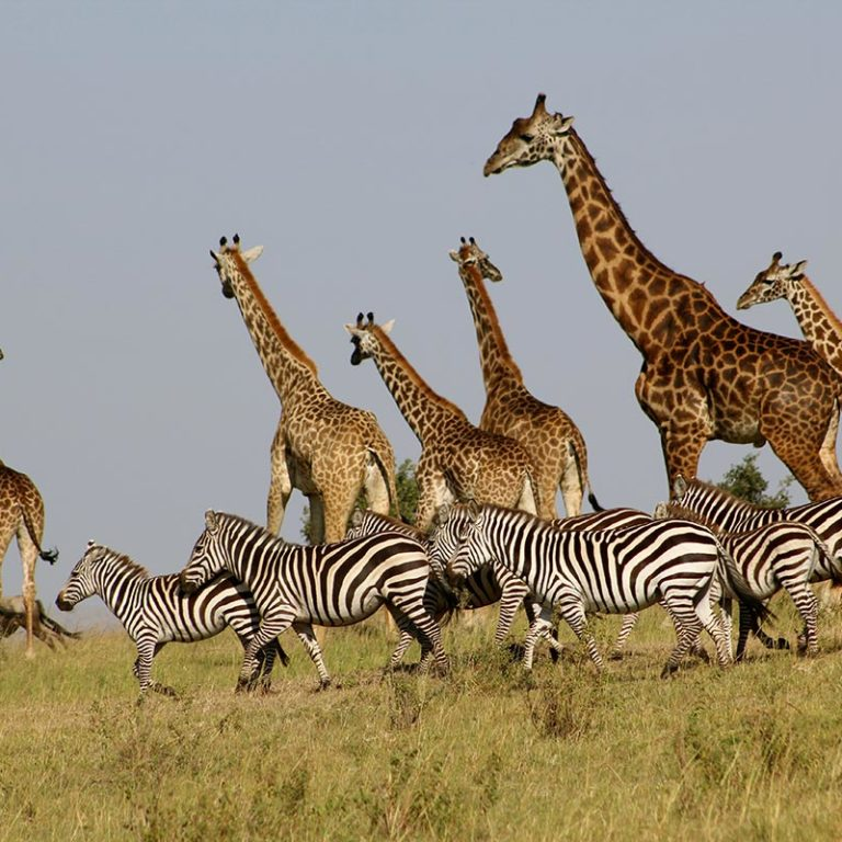 Island-Club-Hotel-Location-Zebras-And-Giraffes